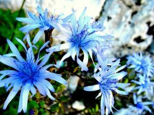 Fleurs bleues - (c) 2009 OuiLeO.cOm